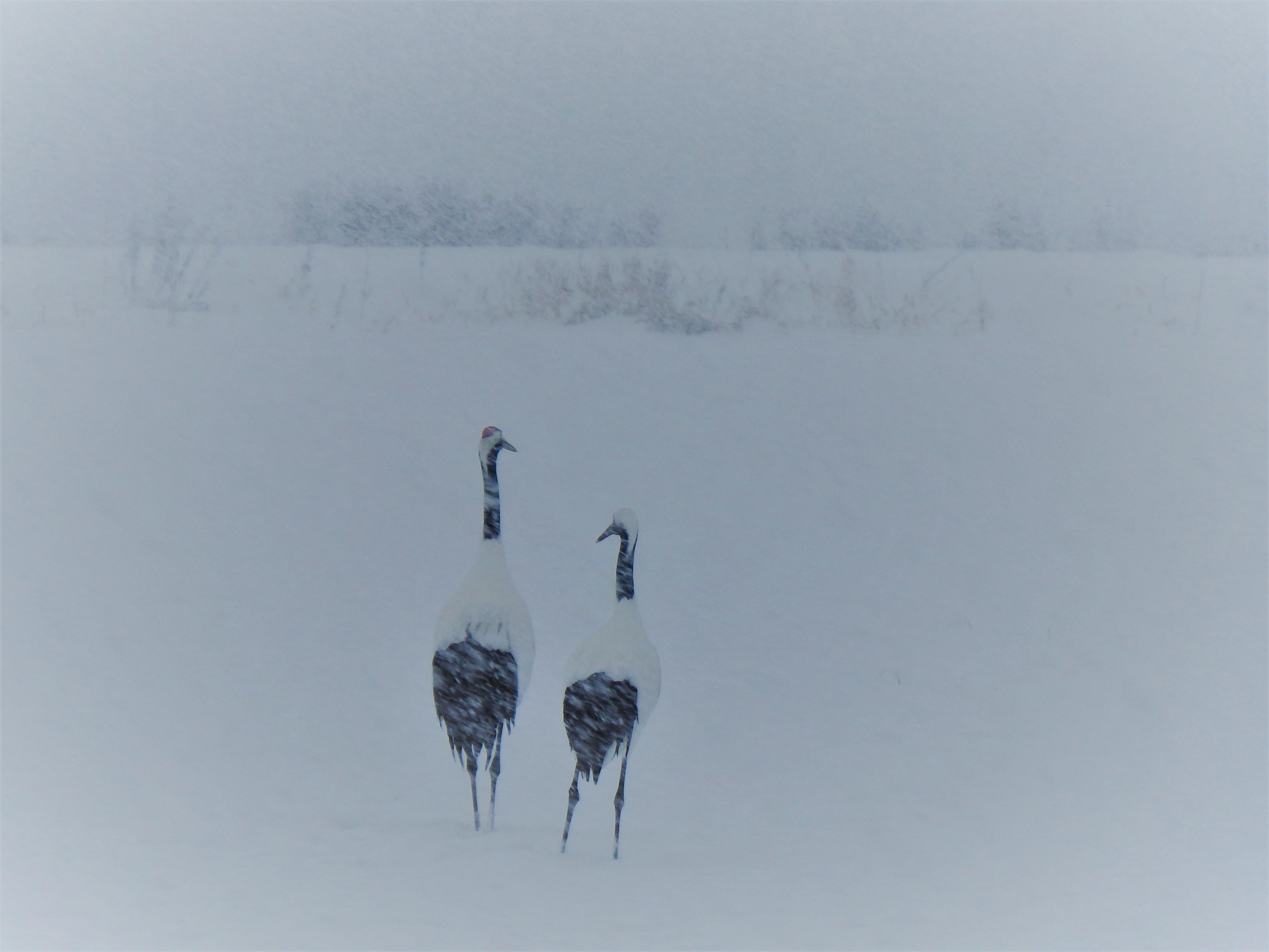 ひがし北海道鶴見台のタンチョウたち