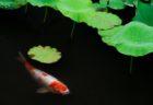 蓮に睡蓮。京都・勧修寺の夏はしっとり美しい