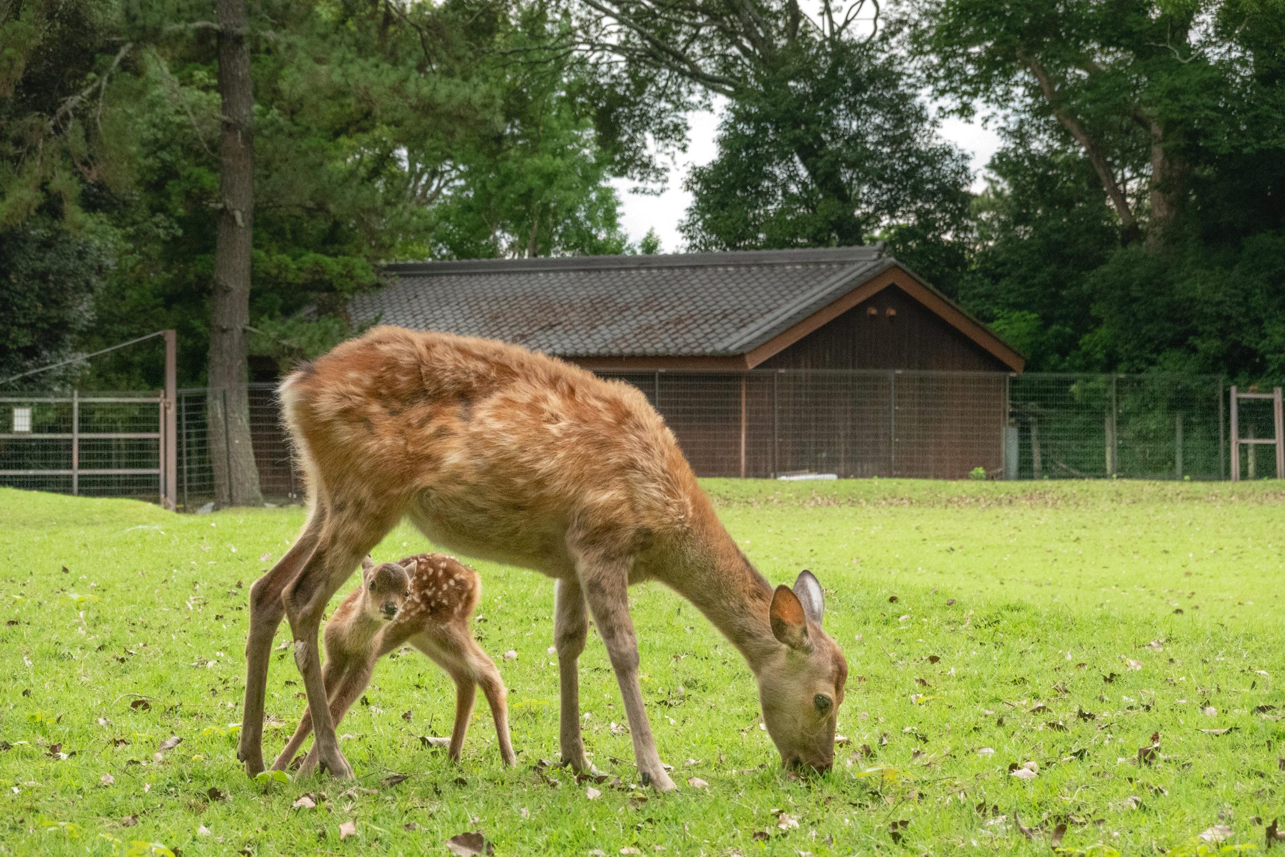 かわいいがいっぱい。子鹿に出会う初夏の奈良公園