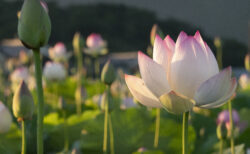 藤原宮跡のハスの花をタイムラプスで撮ってみた